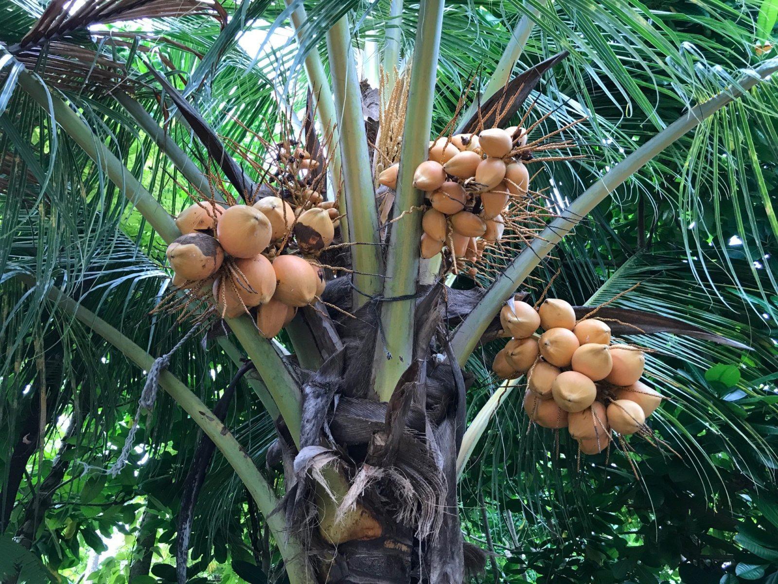 кокосы на пальмах на острове Тодду, Мальдивы
