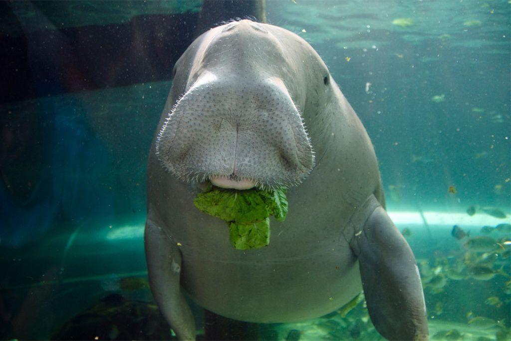 морская корова - дюгонь на острове Фукуок