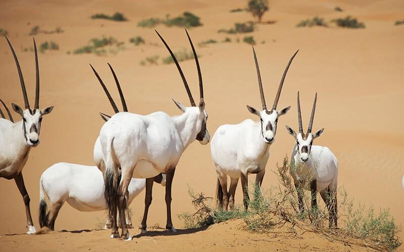 Дикие животные в парке пустыни в Шарджи