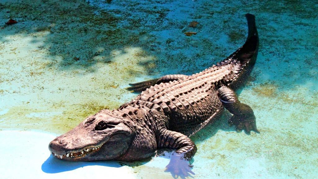 аллигатор Муя в зоопарке Белграда